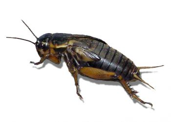Male crickets attract female crickets towards them but mate less, Study